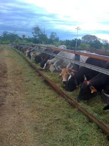Comprar Ganado bovino de ceba