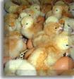 Comprar Alimentación de pollos, Pre-nutripollito ultra