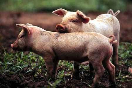 Comprar Alimentar para los animales, Porcilechon premium
