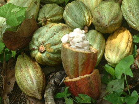 Comprar Productos agrícolasg granos de cacao Carenero Superior