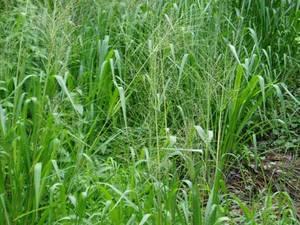 Comprar Plantas herbáceas, perennes Panicum maximum