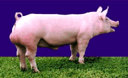 Comprar Cerdos tribal Tempo