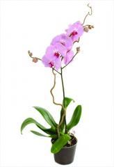 Orquídeas decorativos