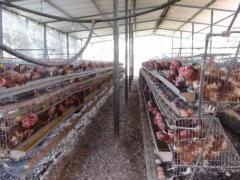 Pollos de engorde, listos para el sacrificio