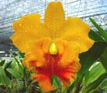 Orquidea Cattleya