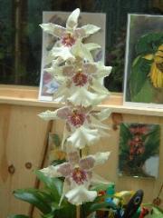 Orquidea Cambria