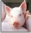 Alimentar para los animales, Porcidestete premium