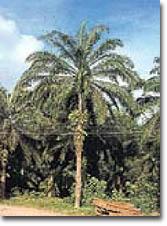 Productos agrícolas, aceite de palma
