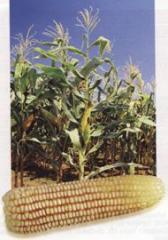 Semillas de maíz, Sefloarca 02
