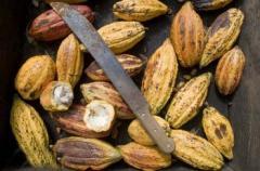 Granos de cacao, Río Caribe Superior