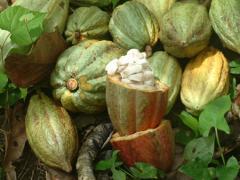 Productos agrícolasg granos de cacao Carenero