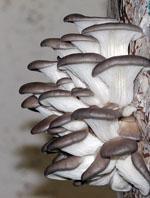 Semilla de Pleurotus ostreatus y eryngii