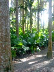 Palma Abanico
