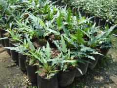 Plantones, Uña de Danta