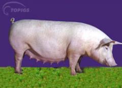 Cerdo Topigs 40 producto nacional