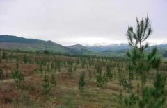 Mejoramiento forestal del campo